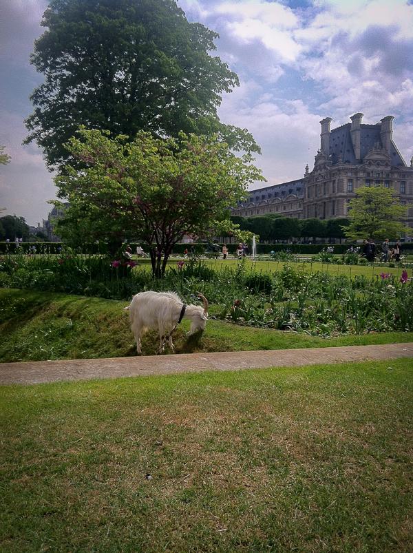Tuileriesgardengoat-1